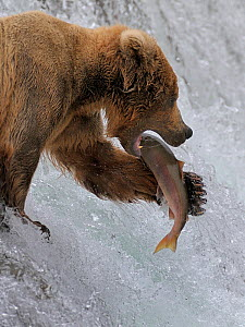 Grizzly bear (Ursus arctos horribilis) salmon fishing in river rapids, Katmai National Park, Alaska, USA - Loic Poidevin