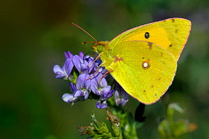Clouded yellow butterfly (Colias crocea) feeding at flower, Vendee, West France  -  Loic Poidevin