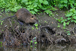 Coypu (Myocastor coypus) feeding on riverbank, Breton Marsh, West France - Loic Poidevin