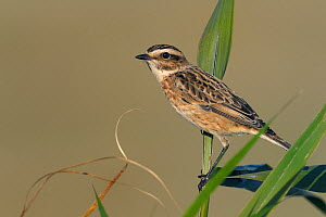 Whinchat (Saxicola rubetra) female portrait, West France, September  -  Loic Poidevin