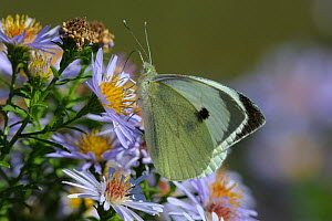 Small white butterfly (Pieris rapae) on Aster flowers, Vendee, West France - Loic Poidevin