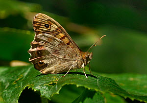 Speckled wood butterfly (Pararge aegeria) on a leaf, Vendee, West France  -  Loic Poidevin