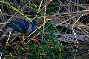 Purple swamphen (Porphyrio potphyrio) amongst reeds, Extremadura, Spain, July  -  Loic Poidevin