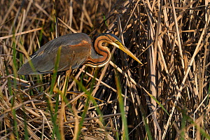 Purple heron (Ardea purpurea) hunting amongst reeds, Extremadura, Spain, June  -  Loic Poidevin