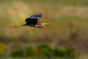 Purple heron (Ardea purpurea) in flight, Extremadura,Spain, June  -  Loic Poidevin