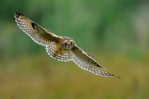 Short eared owl (Asio flammeus) in flight over Vendeen Marsh, West France, June  -  Loic  Poidevin