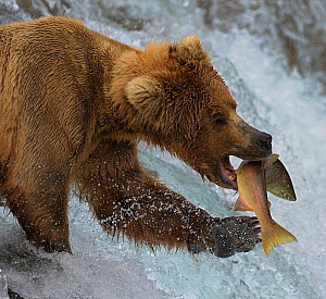 Grizzly bear (Ursus arctos horribilis) attempting to catch salmon leaping up rapids, Katmai National Park, Alaska, USA - Loic Poidevin