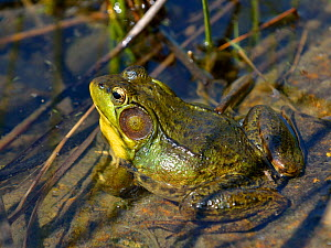 Green frog (Rana clamitans) calling from pond, Quebec, Canada  -  Loic Poidevin