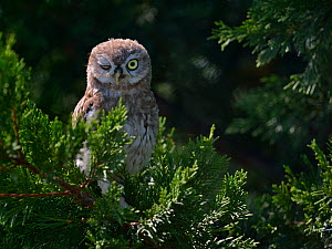 Little owl (Athena noctua) in branches, winking one eye, West France, July  -  Loic Poidevin