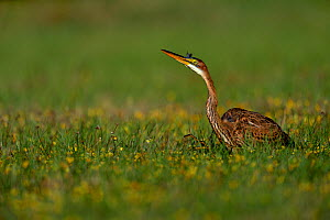 Purple heron (Ardea purpurea) juvenile hunting in flowering wetlands, Breton Marsh, West France, July  -  Loic Poidevin