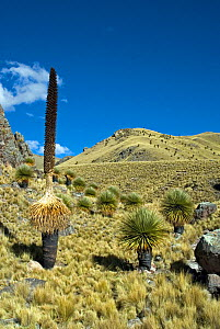 Queen of the Andes (Puya raimondii) forest, Peru. June 2012.  -  Martha Holmes
