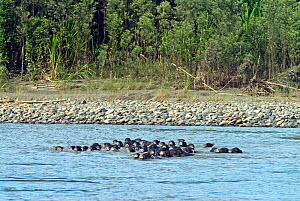 Herd of white-lipped peccaries (Tayassu pecari) crossing the Alto Madre de Dios river, Amazon basin. Peru. - Martha Holmes