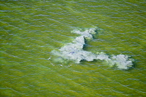 Sediment rising from the sea bed as a result of a bottlenose dolphin (Tursiops truncatus) beating its tail down to trap fish. Beahviour known as mud-ringing. Florida Bay, USA. August 2008.  Taken on...  -  Martha Holmes