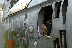 Burrowing owl (Athene cunicularia) living in a wrecked helicopter fuselage. Florida, USA. August 2008.  -  Martha Holmes