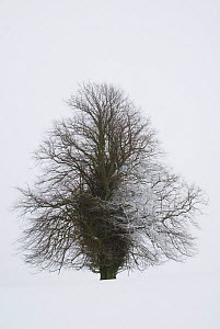 Lone lime tree (Tilia europaea) covered in snow. Forest of Dean, UK. January.  -  Martha Holmes