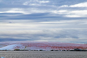 Red algae in ice on shore. Antarctic Peninsula. February 2008. Taken on location for BBC tv series 'Life'  -  Martha Holmes