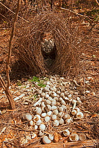 Great grey bowerbird (Chlamydera nuchalis) bower of a male bird showing the bird's attraction to  white objects which it uses to decorate the 'runway' of the bower, Berry Springs, Northern Territory,... - Steven David Miller