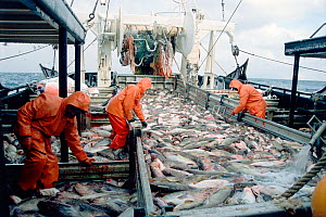 Crew bleeds a full deckload of Pacific cod fish (Gadidae family) before putting them in salt water tanks, on the fishing trawler Western Dawn, Gulf of Alaska, USA. No release available.  -  Steven Kazlowski