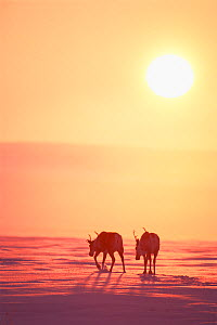 Caribou (Rangifer tarandus) pair walking at sunset in the arctic, North Slope of Brooks range, Alaska, USA  -  Steven Kazlowski