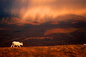Dall sheep (Ovis dalli) solitary animal at sunset with a storm moving across the sky, Denali National Park, interior Alaska, USA  -  Steven Kazlowski