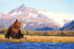 Grizzly bear (Ursus arctos horribils) sow sits in riverbed with a mountain range in background, east coast of Katmai National Park on the Alaskan peninsula, USA - Steven Kazlowski