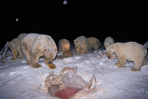 Polar bears (Ursus maritimus) scavenging on baleen whale bones at night in the 1002 coastal plain of the Arctic National Wildlife Refuge, Alaska, USA - Steven Kazlowski
