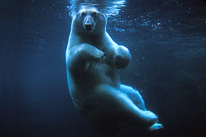 Polar bear (Ursus maritimus) underwater view swimming in a pool, Anchorage Zoo, Alaska, USA. No release available. - Steven Kazlowski