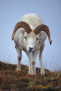 Dall sheep (Ovis dalli) ram on Mount Margaret , Primrose Ridge, Denali National Park, Interior of Alaska, USA  -  Steven Kazlowski