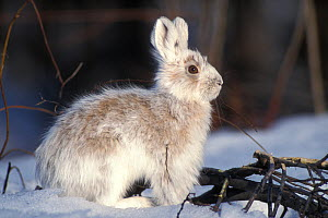 Snowshoe hare (Lepus americanus) adult with coat changing into summer colors, south side of the Brooks Range, Alaska, USA - Steven Kazlowski