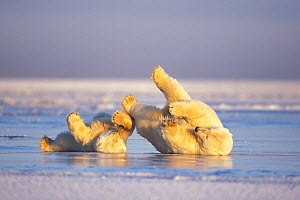 Polar bear (Ursus maritimus) sow and cub sliding on their backs over the pack ice, much like ice skating, 1002 coastal plain of the Arctic National Wildlife Refuge, Alaska, USA  -  Steven Kazlowski