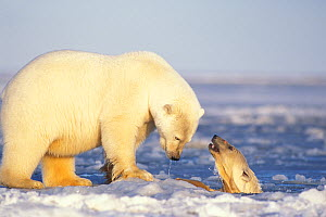 Polar bear (Ursus maritimus) sow on newly formed pack ice with spring cub playing in the water, 1002 area of the Arctic National Wildlife Refuge, North Slope, Alaska, USA  -  Steven Kazlowski