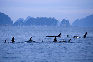 Killer whale (Orcinus orca) large pod with one male approaching, in Kenai Fjords National Park, Chiswell Islands National Marine Sanctuary, South Central Alaska, USA - Steven Kazlowski