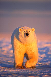 Polar bear (Ursus maritimus) adult walking over newly formed pack ice during fall freeze up, 1002 area of the Arctic National Wildlife Refuge, North Slope, Alaska, USA - Steven Kazlowski