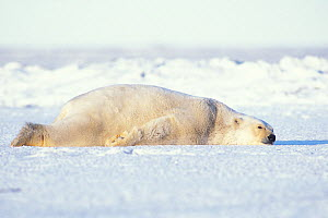 Polar bear (Ursus maritimus) adult resting and staying cool on the newly formed pack ice in autumn, 1002 area of the Arctic National Wildlife Refuge, North Slope, Alaska, USA  -  Steven Kazlowski