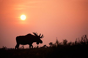 Moose (Alces alces) bull with large antlers silhouetted at sunset from the smoke of summer wildfires, Denali National Park, Interior of Alaska, USA - Steven Kazlowski