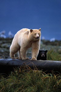 Spirit bear (Ursus americanus) sow with dark cub walking on a log at high tide, along the coastal rainforest of the central British Columbia coast, Canada - Steven Kazlowski