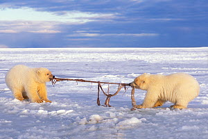 Polar bear (Ursus maritimus) pair of spring cubs play tug-o-war with a piece of whale remains during freeze up, 1002 area of the Arctic National Wildlife Refuge, North Slope, Alaska, USA  -  Steven Kazlowski