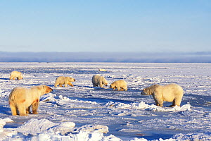Polar bear (Ursus maritimus) sows with cubs hang out on newly formed pack ice during fall freeze up, 1002 area of the Arctic National Wildlife Refuge, North Slope, Alaska, USA  -  Steven Kazlowski