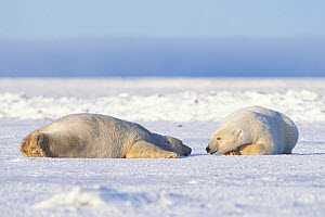 Polar bear (Ursus maritimus) pair of adults rest and stay cool on the newly formed pack ice in autumn, 1002 area of the Arctic National Wildlife Refuge, North Slope, Alaska, USA  -  Steven Kazlowski