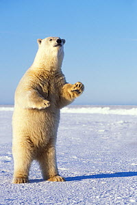 Polar bear (Ursus maritimus) adult stands on the snow-covered pack ice to get a better look at something in the distance, 1002 area of the Arctic National Wildlife Refuge, North Slope, Alaska, USA  -  Steven Kazlowski