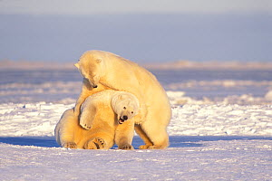 Polar bear (Ursus maritimus) pair of adult sows play with one another on the pack ice during fall freeze up, 1002 area of the Arctic National Wildlife Refuge, North Slope, Alaska, USA  -  Steven Kazlowski