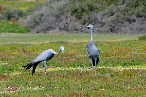 Blue Crane (Anthropoides paradiseus) male and female in succulent fynbos. DeHoop Nature reserve. Western Cape, South Africa. August. - Tony Phelps