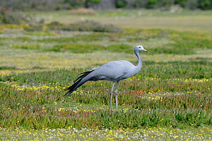 Blue Crane (Anthropoides paradiseus) standing in succulent fynbos, deHoop Nature resereve. Western Cape, South Africa, August. - Tony Phelps