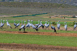 Blue Crane (Anthropoides paradiseus) flock on farmland, Overnerg, Western Cape, South Africa. August. - Tony Phelps