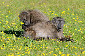 Chacma baboon (Paio hamadryas ursinus) females grooming each other in spring fynbos flowers. deHoop Nature reserve. Western Cape, South Africa. August. - Tony Phelps