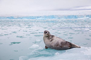 Ringed seal (Pusa hispida) in glacial fjord, Svalbard, Norway - Peter Cairns