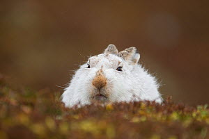 RF- Mountain hare (Lepus timidus) hunkered down in winter pelage, Scotland, UK (This image may be licensed either as rights managed or royalty free.) - Peter Cairns