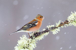 Chaffinch (Fringilla coelebs) male in snowstorm, Glenfeshie, Scotland, UK, February  -  Peter Cairns