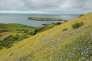 Harebells on east slope on Bardsey Island, with a lighthouse in the distance. North Wales, UK, August 2012  -  Mike Potts