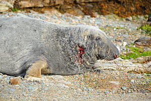 Grey Seal (Halichoerus grypus) with a wounded neck from fighting. Bardsey Island, North Wales, UK, August - Mike Potts